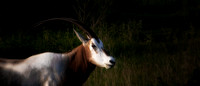 Scimitar-Horned Oryx - 3469