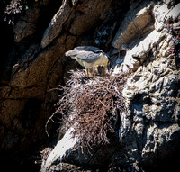 Black-Crowned Night-Heron Nest - 0169