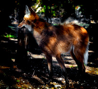 Maned Wolf - 3861