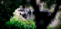 Mexican Grey Wolf - 2588