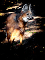 Maned Wolf - 3854