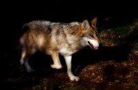 Mexican Grey Wolf - 3827