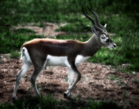 Blackbuck Antelope - 4534