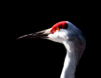 Greater Sandhill Crane - 1932