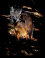 Maned Wolf - 3850