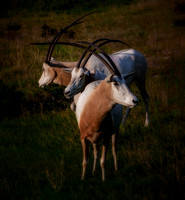 Scimitar-Horned Oryx - 3479