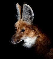 Maned Wolf - 3865