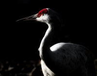 Greater Sandhill Crane - 1945