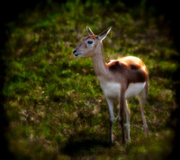 Blackbuck Antelope - 1773
